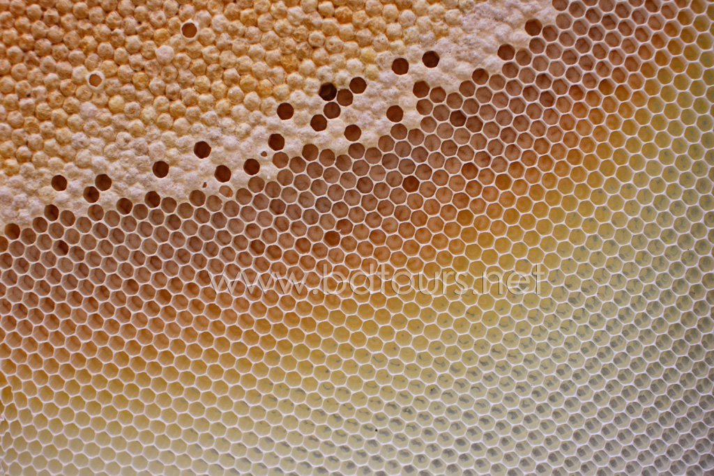 Wax honeycomb with pollen in the cells in the Sundarbans. Sathkhira, Bangladesh. March 2011