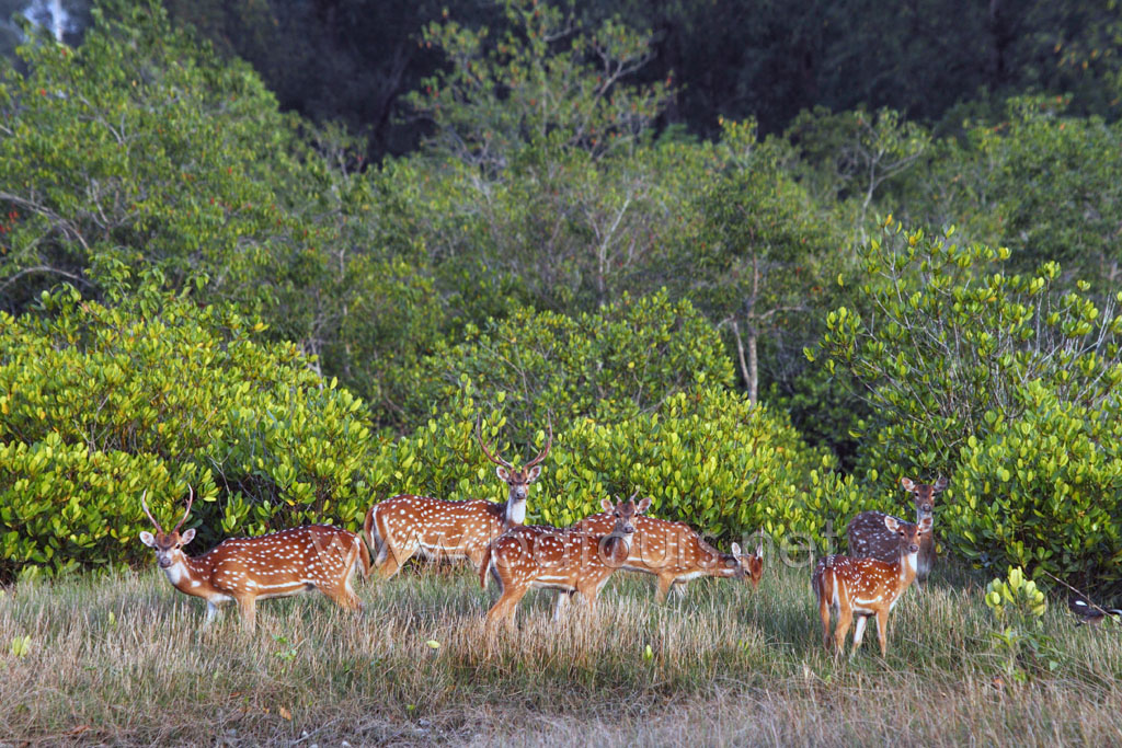 Spotted deer at the Sundarbans, a UNESCO World Heritage Site and a wildlife sanctuary. The largest littoral mangrove forest in the world, it covers an area of 38,500 sq km, about a third of which is covered in water. Sundarbans, Khulna, Bangladesh. April 2011.