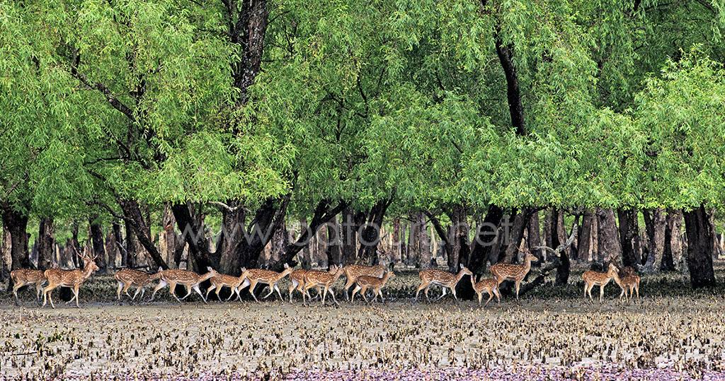 Deer in Sundarban