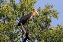 The Lesser Adjutant (Leptoptilos javanicus) at the Sundarbans, a UNESCO World Heritage Site and a wildlife sanctuary. The largest littoral mangrove forest in the world, it covers an area of 38,500 sq km, about a third of which is covered in water. Sundarbans, Khulna, Bangladesh. December 2010.